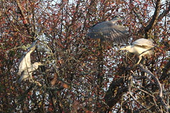 Black-crowned Night-Herons (Terrance Carr) Tags: dncb 201843 reifel terry carr terrycarr 20181023 2018 october