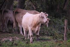 Voir ....au dessus des barrières... (OGNB) Tags: eureetloir landscape paysage cow troupeau vache animaux