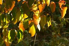 Палитра осени / Color palette of autumn (Владимир-61) Tags: осень октябрь природа лист листва цвет палитра краски зеленый желтый свет autumn october nature leaf foliage color palette paints yellow green light sony ilca68 minolta28135