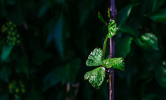 Frescor (301/365) (Walimai.photo) Tags: hoja leaf verde green bokeh nikon d7000 nikkor 35mm detail detalle nature naturaleza mirandadelcastañar salamanca spain españa caminodelosprodigios