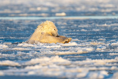 Polar Bear Superman (Glatz Nature Photography) Tags: alaska barterisland glatznaturephotography kaktovik northamerica northslope polarbear ursusmaritimus mammal bear swim ice dive nanuq nanuk arcticalaska arctic arcticnationalwildliferefuge threatenedspecies nikond850 wildlifephotography wildanimal