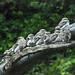 Pygme owls