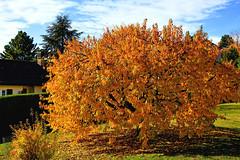 Le cerisier en automne (Diegojack) Tags: vaud suisse echandens d500 nikon nikonpassion automne couleurs arbres cerisier lumières