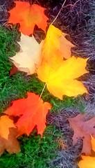 Fallen leaves! (Maenette1) Tags: fallen mapleleaves autumn yard menominee uppermichigan flicker365 allthingsmichigan absolutemichigan projectmichigan autumninmichigan