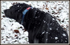 (uncle mike in knoxville) Tags: knoxville tn snow dizzy dog