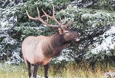 Elk Bull._2 (kc.carol66661) Tags: elements