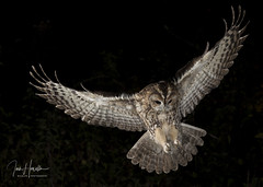 Tawny owl (Ian howells wildlife photography) Tags: ianhowells ianhowellswildlifephotography inflight nature naturephotography nationalgeographic night flash canon canonuk springwatch wildlife wildlifephotography wales wild wildbird tawnyowl tawny owl