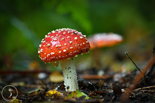 Fly Agaric, amanita muscaria-the most famous of all mushrooms?