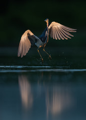 Tricolored Heron (PeterBrannon) Tags: bird egrettatricolor flight florida nature pinellascounty pose tricoloredheron water wildlife sunrise