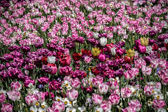 Floriade (Theresa Hall (teniche)) Tags: 2018 annamariahall australia canberra floragambalos floriade macmontagnese mariamccreath september september2018 teniche theresahall theresahalldalliessi vera balloon color colour entertainment festival flora flower flowers spring tulips