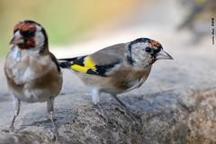 Caderneres (Enllasez - Enric LLaó) Tags: cadernera caderneres aves aus bird birds pájaros 2018 jilguero vallbona hide