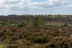 walk in the heathland (JosjeToby) Tags: nature naturephotography heathland heather netherlands netherland nederland landscape landscapes
