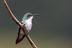 White-Chested Emerald, Trinidad and Tobago (Wim de Groot) Tags: sa vogels birds locatie whitechestedemerald hummingbirds trinidad tobago