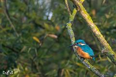Kingfisher at Biesbosch (The Netherlands) (Renate van den Boom) Tags: 09september 2018 biesbosch europa ijsvogel jaar maand nederland noordbrabant renatevandenboom vogels