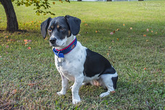Hope Grace - Model Puppy (J.L. Ramsaur Photography) Tags: jlrphotography nikond7200 nikon d7200 photography photo cookevilletn middletennessee putnamcounty tennessee 2018 engineerswithcameras cumberlandplateau photographyforgod thesouth southernphotography screamofthephotographer ibeauty jlramsaurphotography photograph pic cookevegas cookeville tennesseephotographer cookevilletennessee hope hopegrace hopey modelpuppy nature outdoors macro macrophotography closeupphotography closeup dof depthoffield beagle puppydog puppy dog beagledog beaglepuppy portrait portraiture familyportrait portraitphotography animal canine dogportrait puppyportrait canineportrait