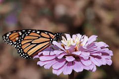 Sweet friendship (Millie Cruz) Tags: saveearth soe monarch butterfly autumn wings zinnia flower nature insect plant outdoors macro canoneosrebelt6i ef100mmf28lmacroisusm nectar