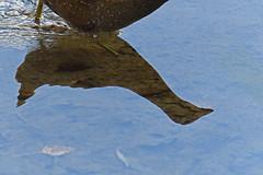 Marouette (Yves.Henchoz) Tags: nikond5 tamron150600g2 nature oiseaux sauvage suisse switzerland swiss svizzera genève genf geneva romandie reflet