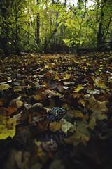 I love autumn (photographybyjoss ↟↟) Tags: autumn höst october leafs leaf leaves bokeh beyondbokeh forestbokeh södermanland sweden sverige seasons colors shiftingcolors saturation landscape landschaft nature backtonature ground