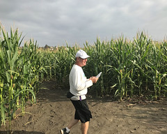 008 Bruce Picks His Route (saschmitz_earthlink_net) Tags: 2018 california temecula bighorsefeedandmercantile cornmaze orienteering laoc losangelesorienteeringclub corn