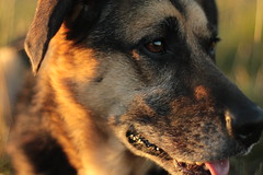 IMG_6568 (TimFromWales) Tags: dog dogs sunset 50mm nifty fifty