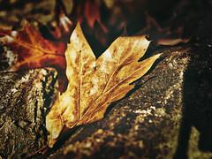 Autumn leaves (PHOTOGRAPHY Toporowski) Tags: vergänglich struktur bokeh alterung schärfentiefe nature makro nahaufnahme schatten light macro licht structure natur verfall abstrakt vintage vergänglichkeit autumn herbst shadow contrast eschweiler nrwnordrheinwestfalen deutschland deu