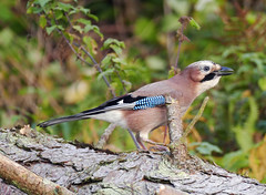 Jay (eric robb niven) Tags: ericrobbniven scotland dundee jay wildlife wildbird nature scottish forest natures springwatch