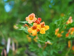 Small Flowers (awkward_annie) Tags: nature olympus bokeh naturephotography flowerphoto naturephoto bokehphotography bokehshot bokehphoto carboncanyon carbon canyon