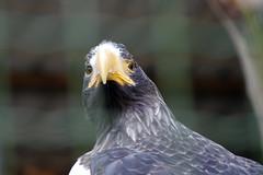 Tallinna loomaaed (Jaan Keinaste) Tags: pentax k3 pentaxk3 eesti estonia tallinn tallinnaloomaaed loomaaed zoo kotkas eagle lind bird
