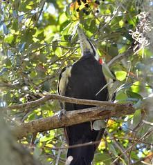 O2K_0522 (68photobug) Tags: 68photobug nikon d7000 sigma sg 150500mm picnicarea woodpecker bird pileated florida polkcounty