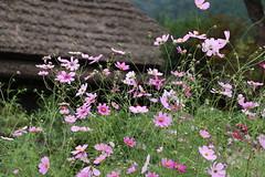 Cosmos (yukky89_yamashita) Tags: 秋桜 コスモス 京都 南丹市 美山 美山かやぶきの里 kyoto japan nantan cosmos flowers autumn