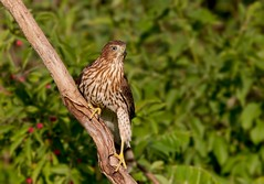Cooper's hawk (IshranI) Tags: coopers hawk ontario canada