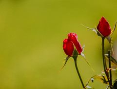 271A8258.jpg (Peter Hosey ( on and off)) Tags: rosebuds red redrosebudsgreen