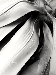 curves falling (Star Tornero Photo) Tags: 20181001161838 plant agave maguey centuryplant bw creases curves oblique succulent
