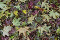 Canadian Autumn (brentus69) Tags: edmonton alberta canada fall autumn tree maple leaves nikon d4 nikond4