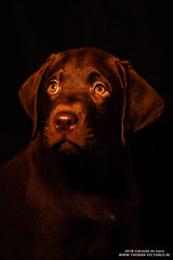 Brown Labrador (Thoran Pictures, Thx for more then 4 million views) Tags: nieuwegein utrecht nederland nl dog pet hond huisdier k9 doggy puppy lowlicht low light lowlight brown labrador photography pentax pentaxart pentaxk1 pretty sweet fad2470mm28