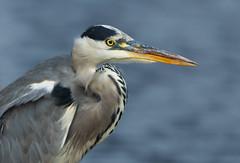 Gone fishin' (StuMcP) Tags: heron eatonpark pond norwich bird beak eye water stuartmcpherson 2018 flickr 70200l