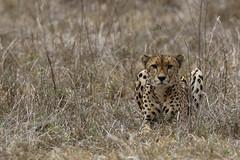 2018 02 03_Cheetah-2 (Jonnersace) Tags: cheetah acinonyxjubatus jagluiperd speed bigcat hunter predator recordbreaker eyes spots grass alert wildwingssafaris canon canon7dii canon100400ii wild nature krugernationalpark southafrica crouch stare