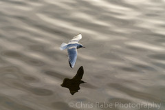 Black-headed Gull (Chroicocephalus ridibundus) (chris_rabe) Tags: greaterlondon avian wings natural beak westlondon nature birds unitedkingdom blackheadedgullchroicocephalusridibundus london uk gullsandternslaridae richmond animals europe feathers bird