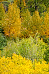 Just Layers (stevenbulman44) Tags: color canon 70200f28l autumn fall calgary alberta yellow foliage tree forest green orange