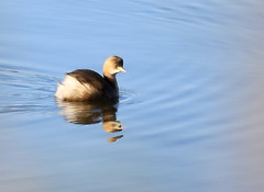 Little Grebe (4) (grahamh1651) Tags: marazion longrockpool birds waterbirds swans mountsbay grebes