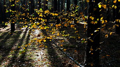 Autumn. October 2018 Ukraine. (ALEKSANDR RYBAK) Tags: осень сезон погода природа лес деревья листва солнечный свет тень autumn season weather nature forest trees foliage solar shine shadow