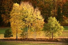 Golden Hour (Gr@vity) Tags: autumn fall herbst herbstbaum herbstlaub landscape nature eosr rf24105 canon tree