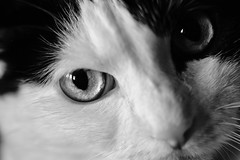 Ojos de gato. (elena m.d.) Tags: gato monocromo cat animal bn bw new macromondays 7dwf ojos