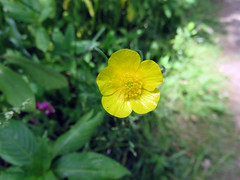 050618#019 Rufford Hall Buttercup (Steveox55) Tags: lancashire rufford wildflower