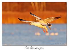 Oie des neiges / Snow Goose 153A1941 (salmo52) Tags: oiseaux birds salmo52 alaincharette oiedesneiges snowgoose ansercaerulescens victoriaville réservoirbeaudet anatidés anatidae ansériformes