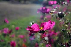 HBW happy bee (Frau Koriander) Tags: flora nature natur bokeh dof depthoffield 24mm nikkor2428 darmstadt rosenhöhe rosenhöhedarmstadt südhessen germany deutschland schärfeverlauf hbw happybokehwednesday bokehwednesday park parkrosenhöhe hessen flowers blumen schärfentiefe nikond300s schmuckkörbchen cosmea cosmos kosmee kosmeen gardencosmos mexicanaster blooming bloom blüte knospe mirasol blume flower blossom garten gegenlicht lensflare light licht makro hell bee biene flyingbee