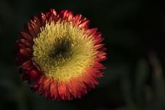 Le début de la fin (Titole) Tags: everlastingflower titole nicolefaton goingtoseed light withered sunlight darkbackground