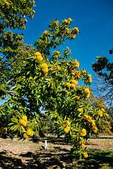 family chestnut grove in Penela da Beira (Gail at Large | Image Legacy) Tags: 2018 icethedog peneladabeira portugal viseu gailatlargecom