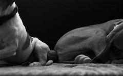 match nul balle de tennis au centre - tie center tennis ball (vieux rêveur) Tags: nb bw bn noiretblanc black noir negro blanc white blanco dog chien perro balle ball