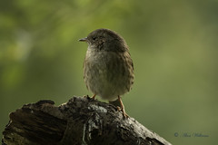 Dunnock (Prunella modularis) (Baldyal) Tags: bird passerine wildlife tree branch venuspool shropshire